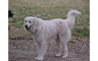 Akbašský pes