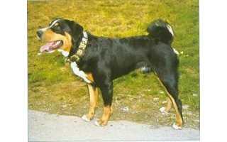 Appenzellský salašnícky pes