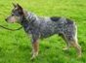 Austrálsky dobytkársky pes
