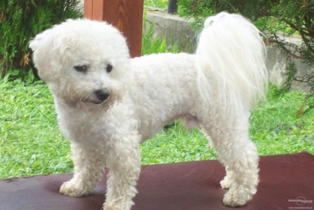 Small Cream Long Hair Dog