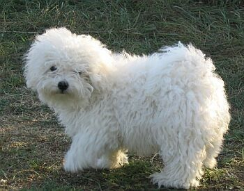 Small white curly dog bolognese dog dog site