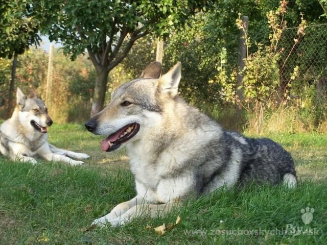 Silver czechoslovakian wolfdog - photo#27