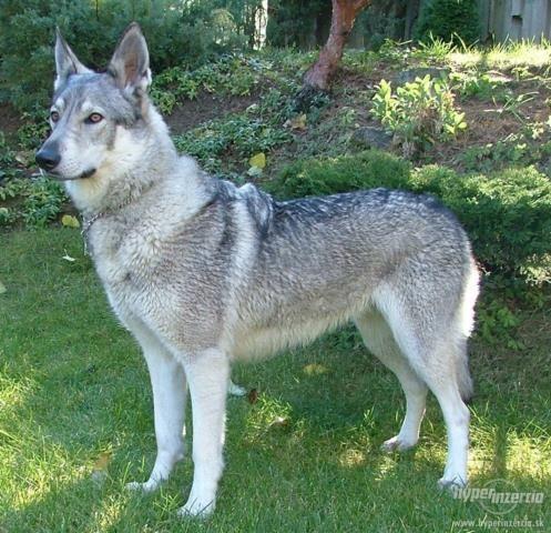 Aetheria/Female/Czechoslovakian Wolfdog 2897-czechoslovakian-wolfdog
