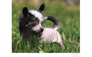 Čínsky chocholatý pes