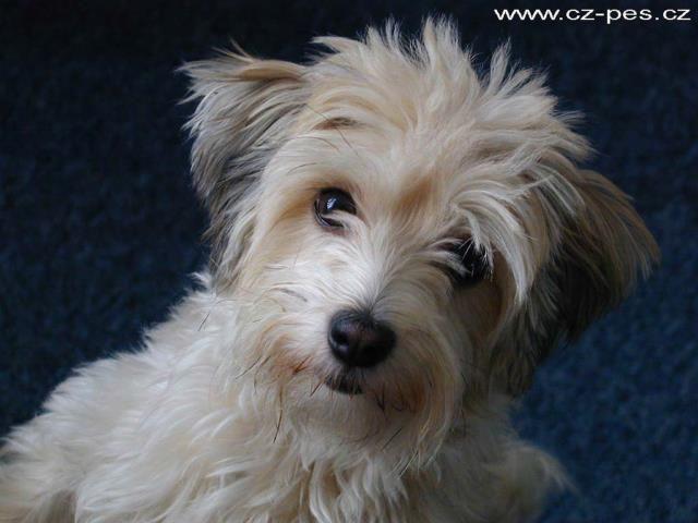 Havanese Dog - Dog-site