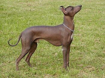 Peruánsky bezsrstý pes