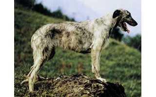 Írsky vlkodav