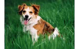 Kromforlandský pes