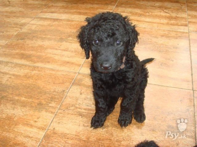 Curly coated retriever dog site