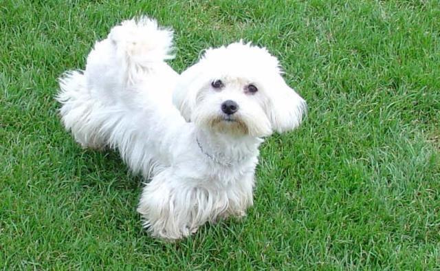 Small White Long Haired Dog Breeds Maltese dog