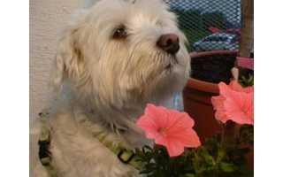 Maltézsky psík