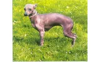 Mexický bezsrstý pes