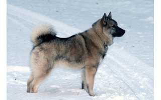 Nórsky losí pes sivý