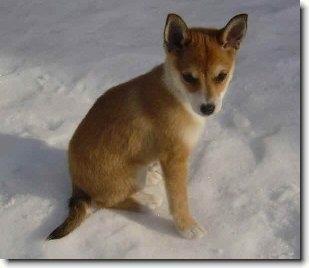 Nórsky lundehund (alčí pes)