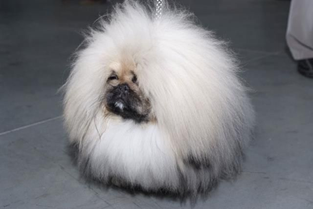 Pekingese - Dog-site
