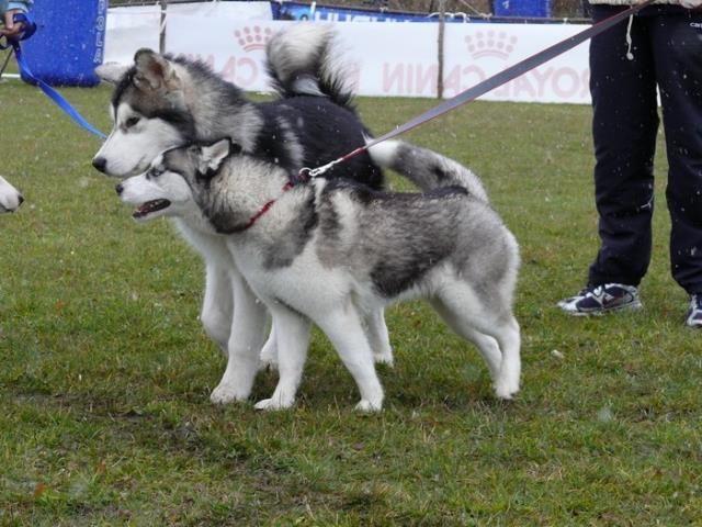 Sibírsky husky