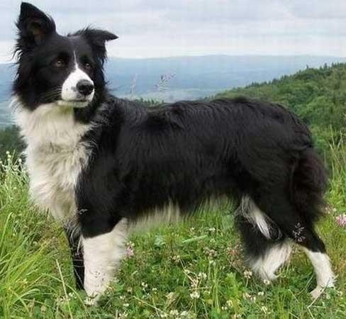 Scottish Shepherd Dog- Collie - Dog-site