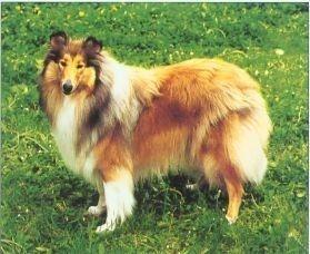 Scottish Shepherd
