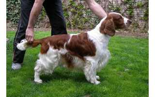 Welsh springer španiel